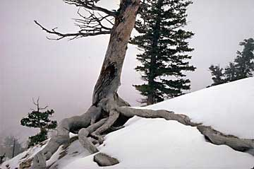 bryce-trees-in-snow1